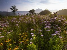 Great Smoky Mountains Wildflowers | Summer Wildflowers, Great Smoky Mountains, Tennessee