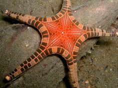 coral triangle sea star.....