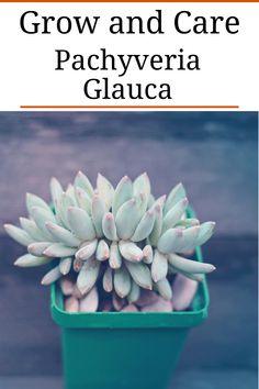 Little Jewel Succulent (Pachyveria Glauca)