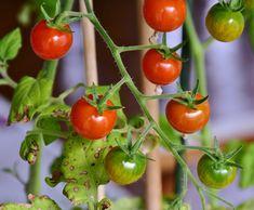 Ochráňte svoju úrodu aj bez chémie. Spracovali sme pre vás zoznam tých najúčinnejších prírodných postrekov, ktoré vám najviac pomohli v boji proti nebezpečnej plesni.Postrek č. 1Tento postrek mi poradil môj švagor a nedám naň dopustiť. … Growing Tomatoes, Growing Vegetables, Tomato Garden, Garden Tomatoes, Whole Food Recipes, Cooking Recipes, Gardening Tips, Salad Recipes, Good Food