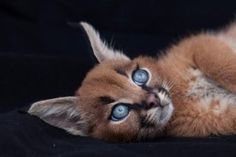 chat-sauvage-caracal-16 (1)