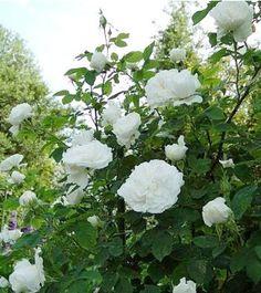 Rosa x damas Mme Hardy - Rosier ancien // H:1,5m ; floraison : 7-8 Rose Hedge, Pic Vert, Parfum Rose, Hedges, Botanical Gardens, Flowers, Green, Beauty, Art
