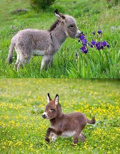 Baby Donkey, Cute Donkey, Mini Donkey, Baby Cows, Baby Elephants, Cute Funny Animals, Cute Baby Animals, Nature Animals, Animals And Pets