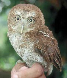 Mucaro- Buho-Owl-Puerto rico