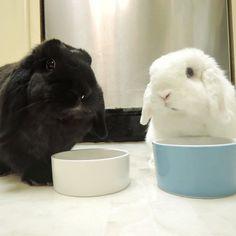 When your mom walks in on you eating spiked Catlax cookies  #rabbit #rabbitofig #bunny #bunnyofig #instabunny #instarabbit #hollandlop #housebunny #houserabbit #dailyfluff #dailybunny #petagram  #petsofinstagram #bunniesofinstagram #weeklyfluff #animals #animalsofinstagram  #bunnylovers #fluffy #bunniesworldwide by momoandbear