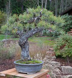 visit to Ryan Neil, www.bonsaimirai.com/, photo by Walter Pall