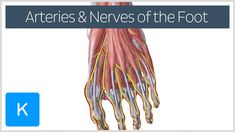 This video covers the topic: Overview of the main arteries and nerves of the foot. Watch & learn more!