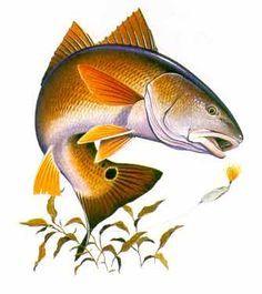 33 Best Fish Red Drum Saltwater Images Saltwater Fishing Sea