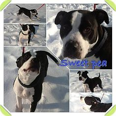 My name is Sweet Pea. I am an American Pit bull Terrier. Please help to adopt me!  https://www.allpaws.com/adopt-a-dog/american-pit-bull-terrier/1524092?