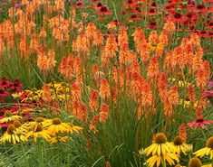 Buy red hot poker Kniphofia 'Ember Glow': Delivery by Waitrose Garden in association with Crocus