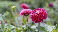 Dahlien sind wegen ihrer feingliedrigen und farbintensiven Blüten beliebt (Quelle: Thinkstock by Getty-Images)