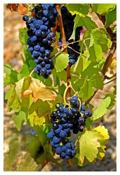 Grapes growing in the Luberon by Stephanie Mounts.
