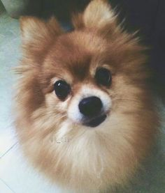 Adorable... Puppy Dog Eyes, Dog Cat, Chihuahua, Dogs And Puppies, Corgi, Cats, Sweet, Animals, Candy