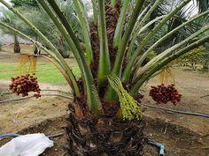 Fresh Dates, Dating, Plants, Qoutes, Flora, Plant