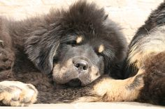 Naylanghi Tibetan Mastiff, Dogs, Animals, Animales, Animaux, Pet Dogs, Doggies, Animal, Animais