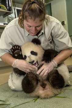 The San Diego Zoo's Giant Panda Cub is getting bigger - and stronger. Wednesday morning he wiggled his way through his weekly check-up, which took three pair of hands to complete. The results: He's one healthy baby!