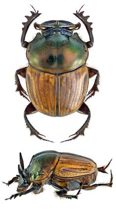 Onthophagus bonasus