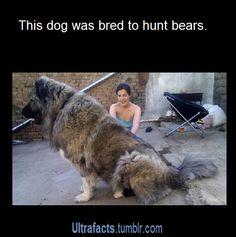 This dog. I want one. A Russian bear dog/caucasian shepherd dog. - Imgur