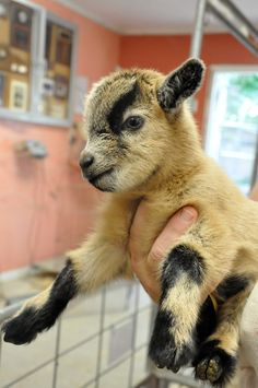 I had a baby goat just like this one. Her name was Billy Jean. She thought she was dog like my other pets.