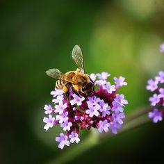 Počuli ste o tom, že extrakt z peľu sa používa pri liečbe prostaty? #vcela #pel #liecba #apiterapia #antioxidant #zazrakprirody