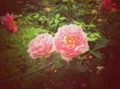 Pink rose in retro filter effect by mutita.narkmuang on Creative Market
