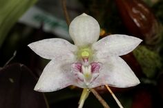 Dendrobium cruttwellii; by JVinOZ - Endemic to New Guinea