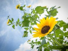 Picture of common sunflowers