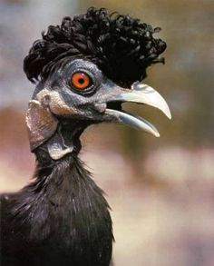 "Crested Guinea Fowl~These guys have an ""Elvis hair"" look going on..."