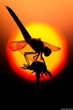 Beautiful photo. Dragonfly on the Beginning of a Summer Day - Photo by Gilad Mass