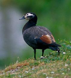 Paradise Shelduck, Male - Endemic Native NZ Bird