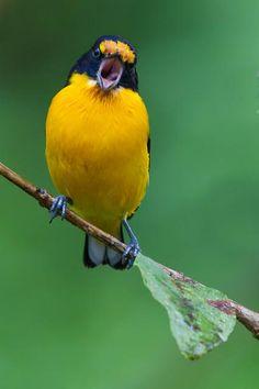 Foto gaturamo-verdadeiro (Euphonia violacea) por Virginio Sanches | Wiki Aves - A Enciclopédia das Aves do Brasil