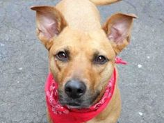 SUPER URGENT  12/12/15 Manhattan center KIFLI – A0886345  **RETURNED  12/12/15**  SPAYED FEMALE, TAN, LABRADOR RETR MIX, 5 yrs STRAY – ONHOLDHERE, HOLD FOR ID Reason STRAY Intake condition UNSPECIFIE Intake Date 12/12/2015, From NY 10029, DueOut Date12/15/2015,