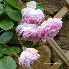 Rose La Giralda