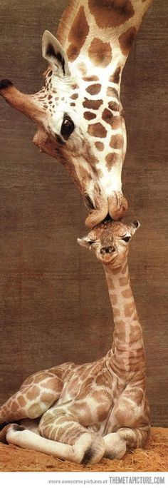Giraffe kiss   Beso de Vino     the giraffe's neck arose through Darwinian natural selection—that ancestral giraffes with long necks thereby had a competitive advantage that better enabled them to reproduce and pass on their genes.[