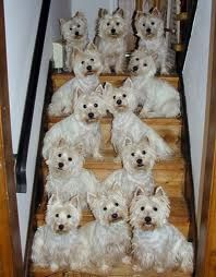 Are you serious?  I can't imagine having this many Westies!  They would definately be running everything!