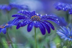 blue meyer dream by Phil_Hart Macro Photography #InfluentialLime