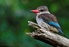 The Brown Hooded Kingfisher (Halcyon Albiventris) is a species of bird in the Halcyonidae family and is distinguished from other red billed kingfishers by its Lovely Creatures, Kingfisher, Bird Species, Bird Watching, Africa, Birds, Brown, Animals, Bing Images