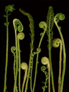 Fiddleheads by Lisa+A.+Frank: Color+Photograph available at www.artfulhome.com