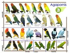 African Lovebirds Mutations All about african lovebirds!!!