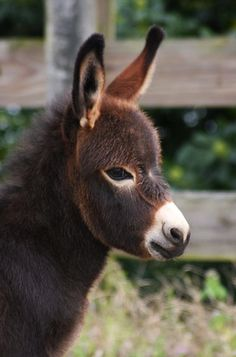 very fuzzy and very coy donkey.
