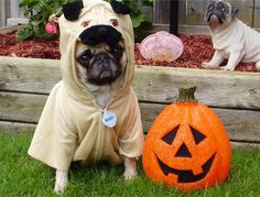 Our Pug, Bailey Puggins wishing you a Happy Halloween!