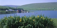 Shetland's Islands-  Looking over yellow flowers to the small jetty at Voe at the head of Ronas Voe, North Mainland?