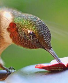Hummingbird's Beauty by Richard Marlow