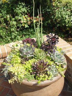 succulents- for grandma's pots on patio