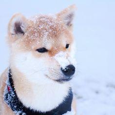 Snowy shiba