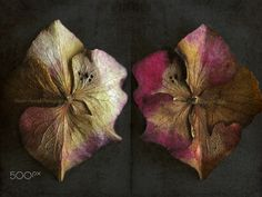 Dried Hydrangea Flower back & front - Dried Hydrangea Flower, front and back...