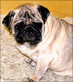 Pug on a rug....:)