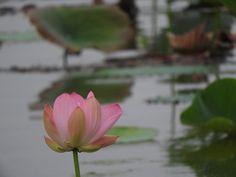 蓮の花が見たくて佐潟へ行ってみた【佐潟公園:新潟県】