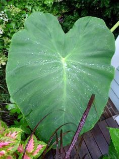 Tips For Growing Elephant Ear Plants - The elephant ear plant (Colocasia) provides a bold tropical effect in nearly any landscape setting. In fact, these plants are commonly grown for their large, tropical-looking foliage, which is reminiscent of elephant ears. Keep reading to learn more about how to take care of an elephant ear plant.