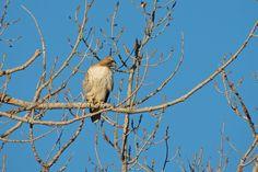 Red-Tailed Hawk ©Steve Frye. Wild Bird Company - Boulder, CO. Saturday Morning Bird Walk in Boulder County - March 28, 2015.
